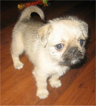 Puppies on Rubi  The Pug Zu Hybrid Puppy  Shih Tzu   Pug Mix  At 7 Weeks Old