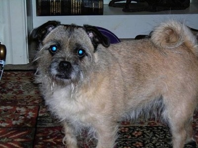 Terrier Mixed Breed Cross Find Similar Images