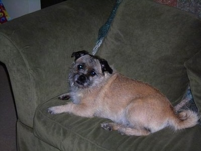 The left side of a tan with white and black Pugairn dog is laying on a couch looking towards the camera with its head slightly tilted to the right.