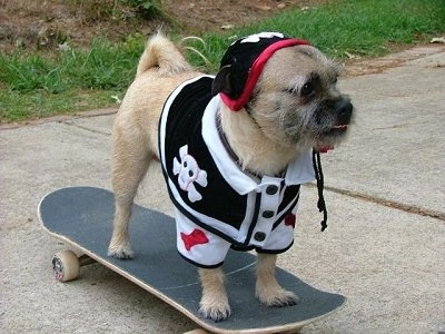 Front side view - A tan with white and black Pugairn dog is dressed as a skateboarding land pirate standing on top of a skateboard on a sidewalk. Its tail is curled up over its back.
