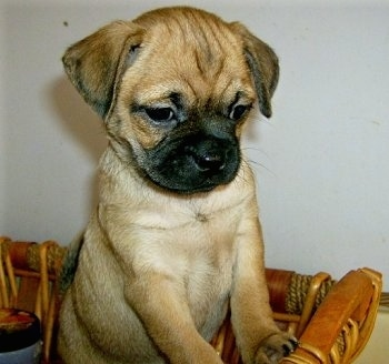 Puppies on Puggle Pictures And Photos  Puggle Pics  3
