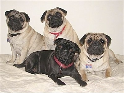 A pack of 4 Pugs are laying and sitting together. They are on top of a bed. Three dogs are tan and black and one is all black.