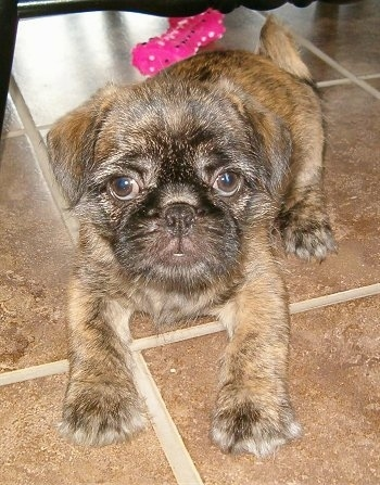 A brown brindle Pug-Zu puppy is laying across a tiled floor and it is looking forward. There is a hot pink with white rubber toy behind it. The pup has long hair on its face and it looks like a monkey with large round eyes.
