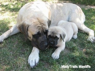 Tinkerbelle the male Mastiff puppy at 7 weeks with her mother, Sassy - Courtesy of MistyTrails Mastiff's