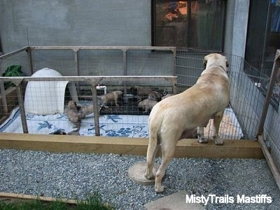 English Mastiff walking into the puppy area