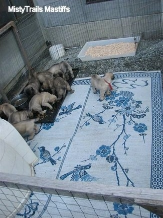 Most of the Puppies are near the feeding bowl. One Puppy looking around on the rug