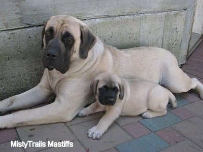 Aquamarine (Daisy) the female Mastiff puppy at 7 weeks with her mother, Sassy - Courtesy of MistyTrails Mastiff's