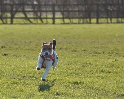 A white with black and brown Jack Russell Terrier is running up a field with its mouth open and tongue is hanging out.
