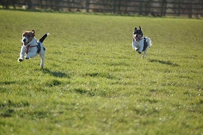 Two white with black and brown Jack Russell Terriers are running across a field. They're mouths are open.