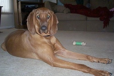 Crockett the Redbone Coonhound all grown up