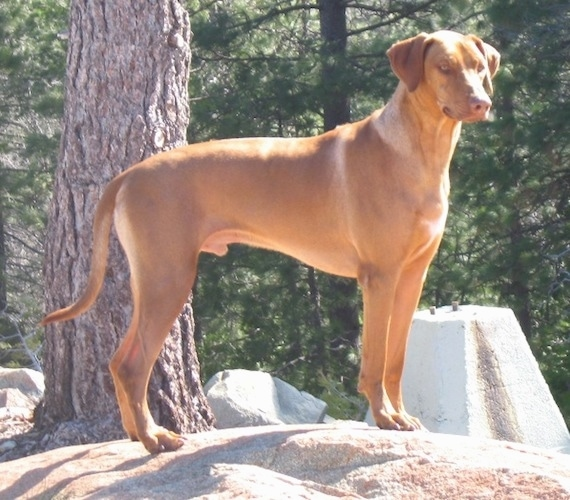 The right side of a liver-nosed, tall Rhodesian Ridgeback that is standing on a rock and it is looking forward and to the right. There is a tree behind it