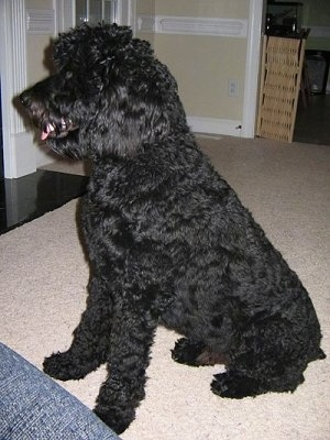 Standard Poodle Mix with Rottweiler