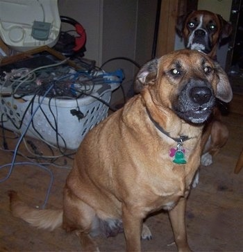 A large breed, tan Bloodhound/Black Labrador/German Shepherd mix is sitting in a room in front of a Boxer. They both are looking forward. There is a plastic white basket full of wires to the left of the dogs.