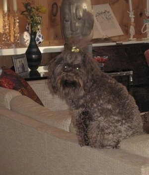 The back of a chocolate Russian Tsvetnaya Bolonka dog is sitting on a couch and it is looking forward. It has a gold ribbon in the top knot of its hair.