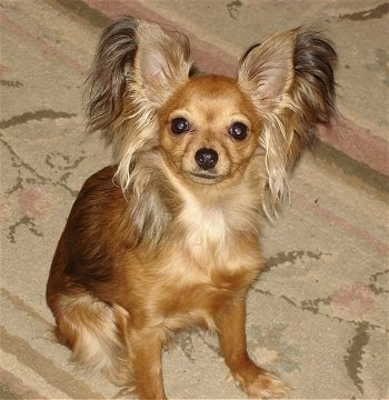 Sassafras Moccasins, a Russian Toy Terrier Longhair, all grown up at 1½ years old