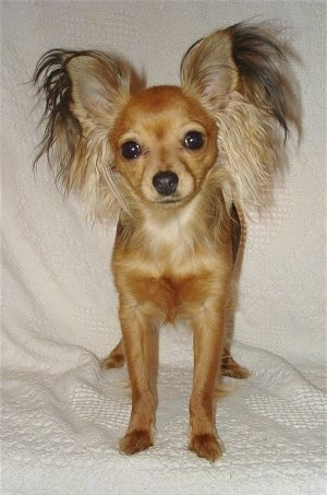 View from the front - A tan Russian Toy Terrier dog is standing on a white blanket and it is looking forward. Its head is slightly tilted to the left and it has long fringe hair on its large-perk ears coming out like a butterfly.