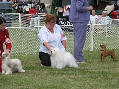 Three dogs are posing in grass and behind them there are people behind each dog and they are helping pose the dogs at a dog show.