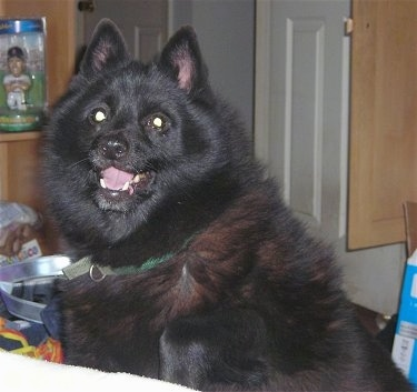 Close up - A fluffy black Schipperke dog is sitting behind a bed, it is looking forward, its mouth is open and it looks like it is smiling. The dog has small perk ears.