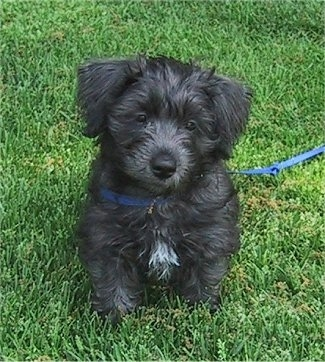 A fluffy, black with a tuft of white Schnese puppy is sitting in grass and it is looking forward.
