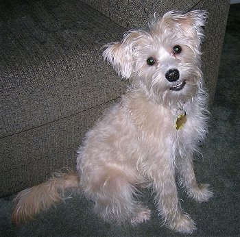 The left side of a tan Schnoodle that is sitting on a carpet and against a couch. It is looking up, forward, its head is tilted to the left and it looks like it is smiling.