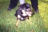 Front view - A black with tan and white Schweenie is sitting in grass and it is looking to the right. Its mouth is open and its tongue is sticking out. There is a person behind it holding onto the dog's collar.