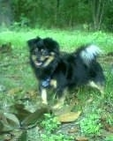 The left side of a black with tan and white Schweenie dog standing in grass looking forward. Its mouth is open and its tongue is out.