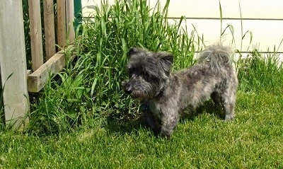 A black, grey with white Scotchon is standing in grass and it is looking to the left. The dog's body is long and low to the ground and its legs are short. It has longer hair on its head and tail and its body is shaved shorter.