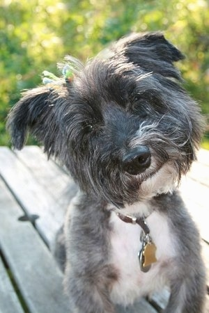 Close up front view - A black, grey with white Scotchon is sitting on a hardwood porch, it is looking forward and its head is tilted to the left. The dog has longer hair on its head and shorter hair on its body.