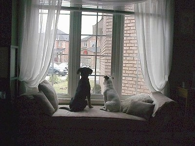 The back of a white Jack Russell Terrier and a black Shepadoodle puppy are sitting on a chaise and they are looking out of a window.