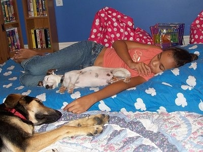 A white with brown Jack Russell Terrier and a black with tan Shepherd mix are sleeping on a bed and there is a girl sleeping behind them.
