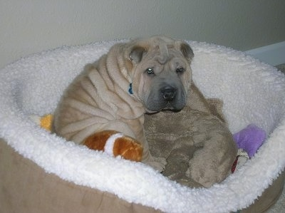 A small wrinkly, blocky, extra skinned, tan Shar-Pei puppy is laying in a dog bed and it is looking forward.