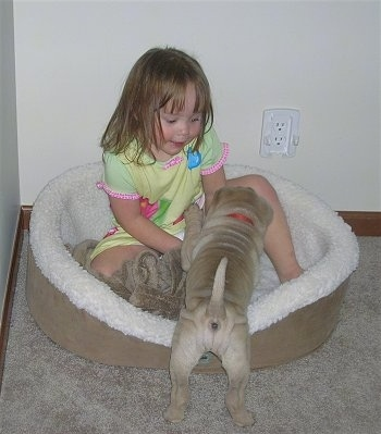 A little girl is sitting in a dog bed and a tan Shar-Pei puppy is pawing at the kid in the dog bed. The puppy has a lot of wrinkles.