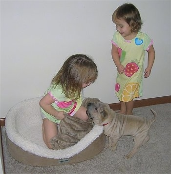 A girl is sitting in a dog bed and a tan Shar-Pei puppy is standing in front of the bed and looking at the girl. Behind the puppy is another girl looking down at the wrinkly dog.