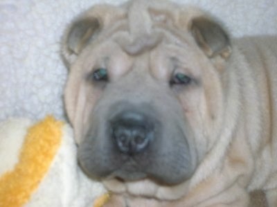 Close up - A blocky, extra skinned, small eared, tan Shar-Pei puppy is laying on a carpet and it is looking forward.