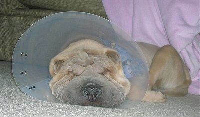 Close up head shot - A tan Shar-Pei puppy, with a cone on its head, is sleeping on a carpet. The dog has a lot of extra skin.