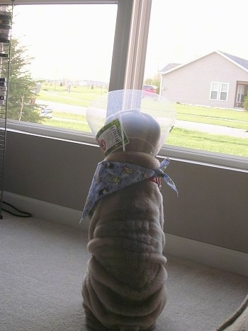 The back of a wrinkly, extra skinned, tan Shar-Pei puppy wearing a cone looking out of a window at a tan house across the yard.