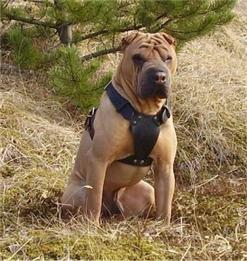 A tan wrinkly faced Shar-Pei dog wearing a thick black leather harness is sitting outside in grass and it is looking forward. The dog has a big square head and very small ears.