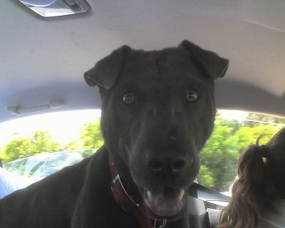 Close up - A black Sharmatian dog is standing in the passenger seat of a vehicle. It is looking forward, its mouth is open and it looks like it is smiling. The dog has a big head and small ears and a black tongue.