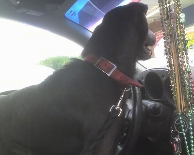 The back of a black Sharmatian dog with a black tongue standing in the driver side of a vehicle. It is looking out of a window.
