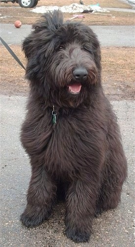 A thick, long haired, black Shepadoodle dog sitting in a driveway, it is looking to the right, its mouth is open and it looks like it is smiling. It has a big head, a thick body and a big nose with fluffy drop ears.
