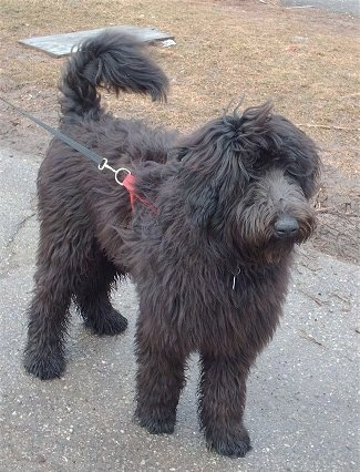 A fluffy, long coated, black Shepadoodle dog standing across a blacktop surface looking to the right. Its hair on its face is long and its cover up the dog's eyes. Its tail is curled up over its back.