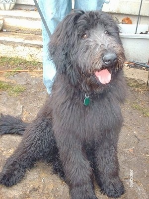 A long coated, black Shepadoodle is sitting in dirt, it is looking to the right, its mouth is open, its tongue is out and it looks like it is smiling.  The dog has round brown eyes. There is a person standing behind it.