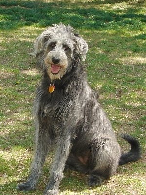 A tall, shaggy, black and white Shepadoodle dog is sitting in grass looking forward, its head is tilted to the right, its mouth is open, its tongue is sticking out and it looks like it is smiling.