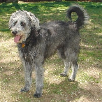 The front left side of a shaggy looking, black with white Shepadoodle that is standing across grass, it is looking to the left, its mouth is open and its tongue is out. Its tail is curled up over its back in a ring.