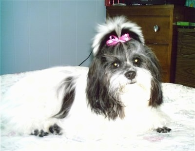 Side view - A white with black ShiChi is laying across a bed, it has a pink ribbon in the hair of its top knot. It is looking forward and its head is slightly tilted to the left.