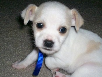 Close up - A short haired, white with tan ShiChi puppy is sitting on a carpet and it is looking forward. Its small ears are folded over to the sides.