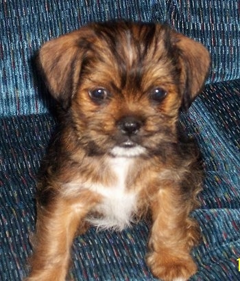 Close up front view - A small brown with black and white ShiChi puppy is sitting on a blue couch looking forward.
