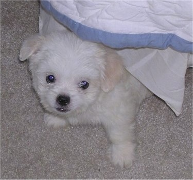 Top down view of a white ShiChi puppy standing on a tan carpet and there is a blanket covering it.