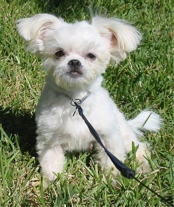 Front view - A tiny white ShiChi dog is sitting in grass and it is looking forward. Its ears are sticking out to the sides with longer hair on them.