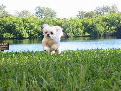 Action shot - A little white ShiChi dog is running across a field and there is a body of water in the background. The dogs front legs are off of the ground and its ears and tail are flying up in the air.